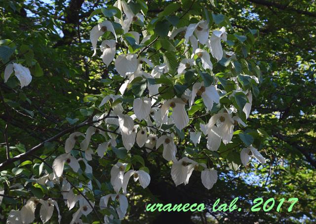 4月28日ハンカチの木6
