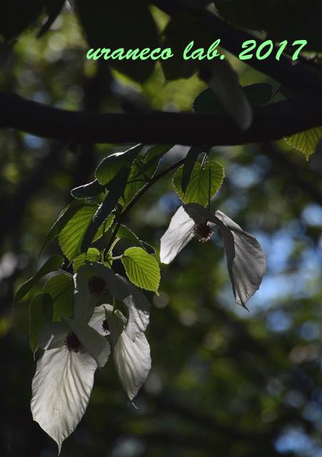 4月28日ハンカチの木5