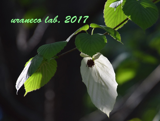 4月28日ハンカチの木4