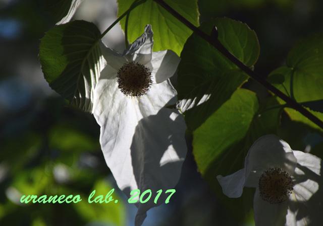 4月28日ハンカチの木3