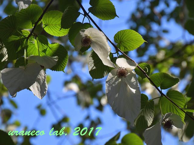 4月28日ハンカチの木2