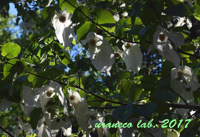 4月28日ハンカチの木