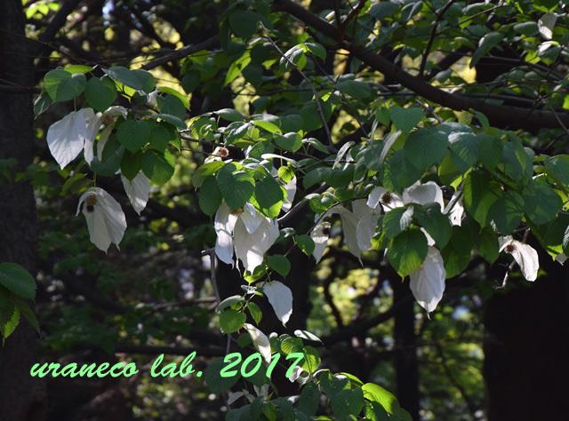 4月28日ハンカチの木7