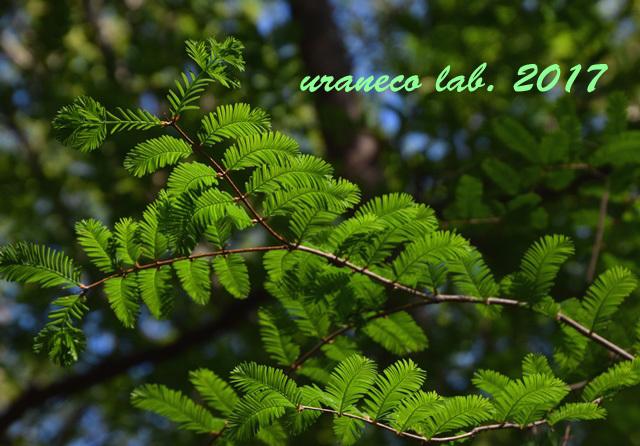 4月28日落羽松の森2