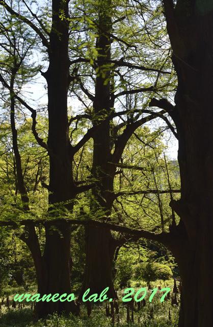 4月28日落羽松の森7