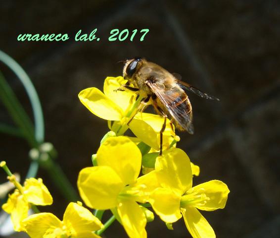 5月1日ミツバチ