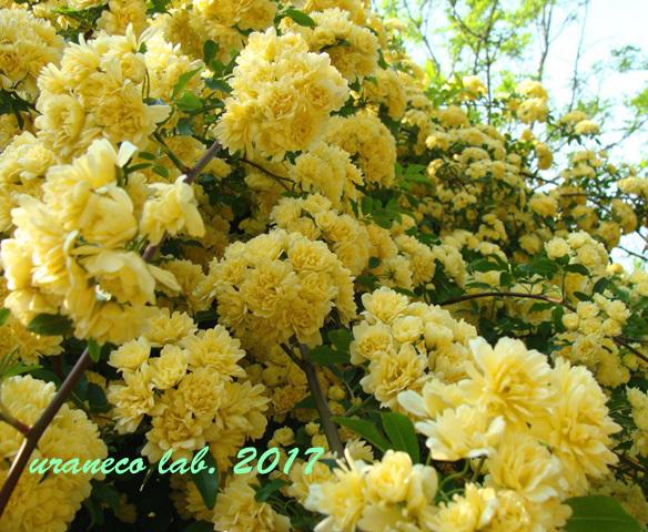 5月1日モッコウバラ黄色4