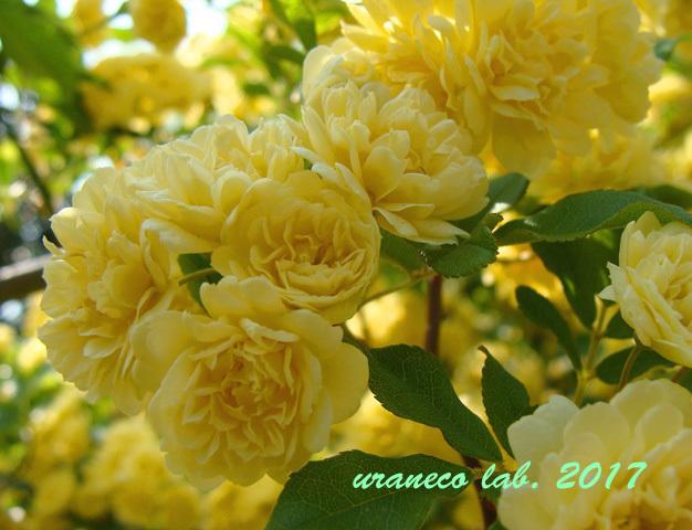 5月1日モッコウバラ黄色3