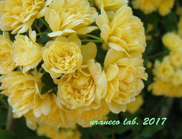 5月1日モッコウバラ黄色2