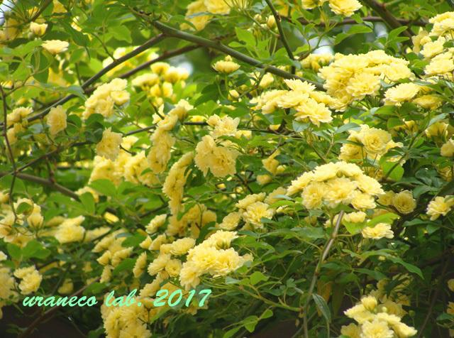 5月1日モッコウバラ黄色