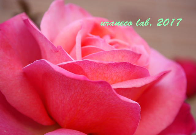 5月1日薔薇