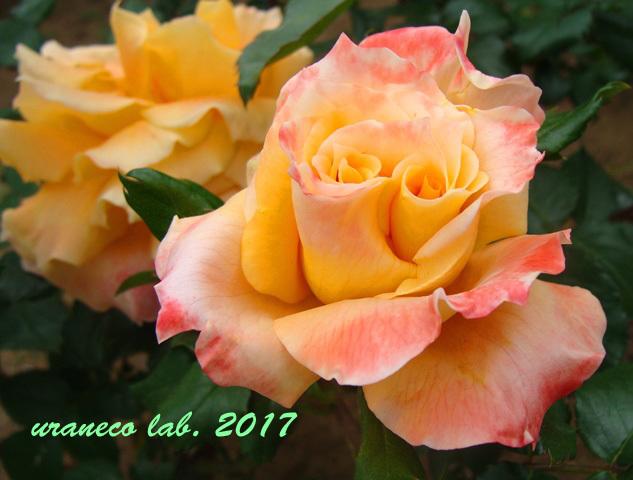 5月8日薔薇