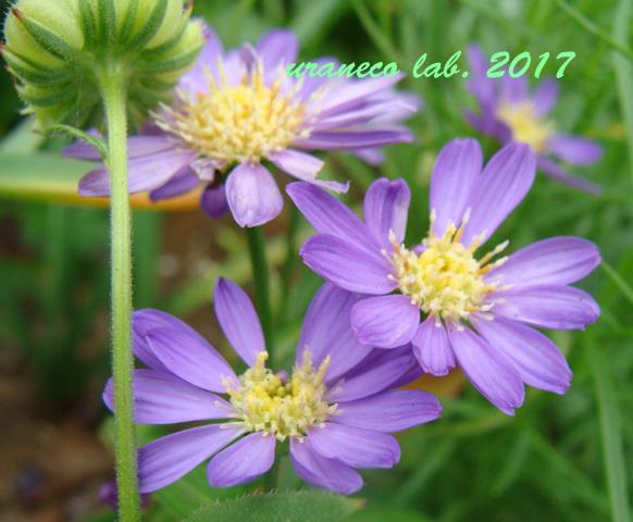 5月8日紫色の洋菊