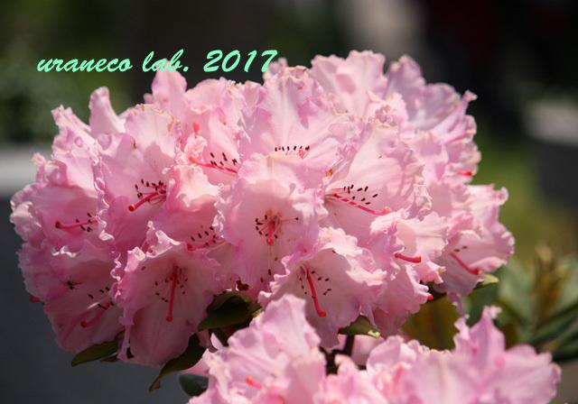 5月11日ピンク2