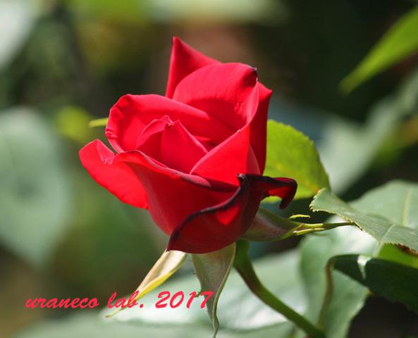 5月11日薔薇5