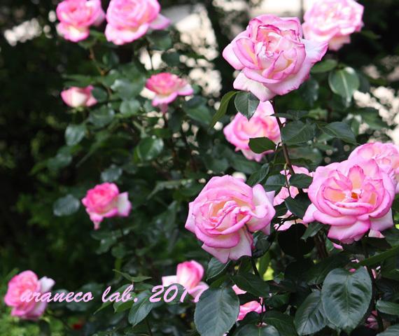 5月11日薔薇4
