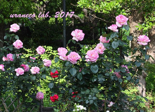 5月11日薔薇3