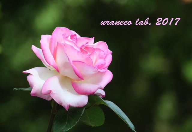 5月11日薔薇2