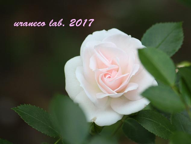 5月11日薔薇