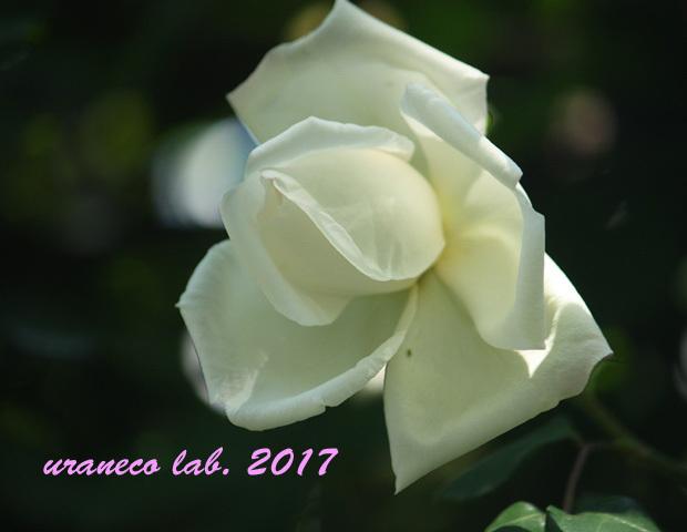 5月11日薔薇7