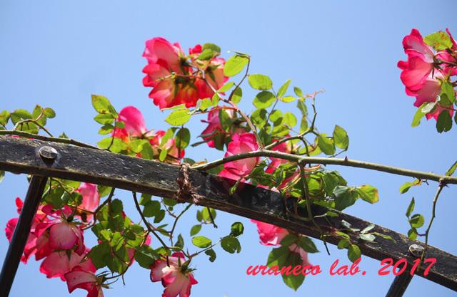 5月11日薔薇6