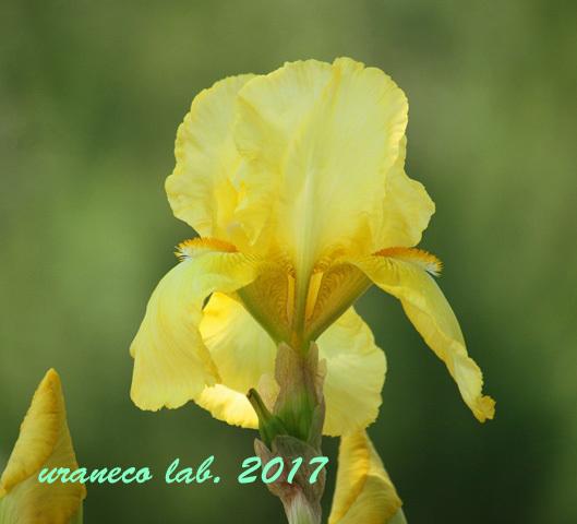 5月11日アイリス黄色