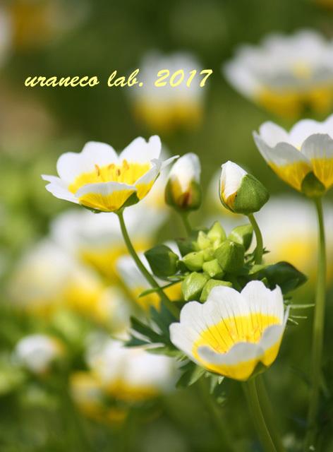 5月24日目玉焼きの花