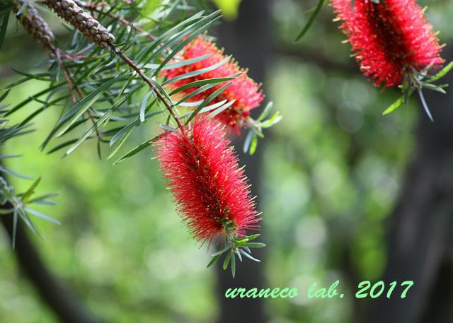 5月31日ブラシの木
