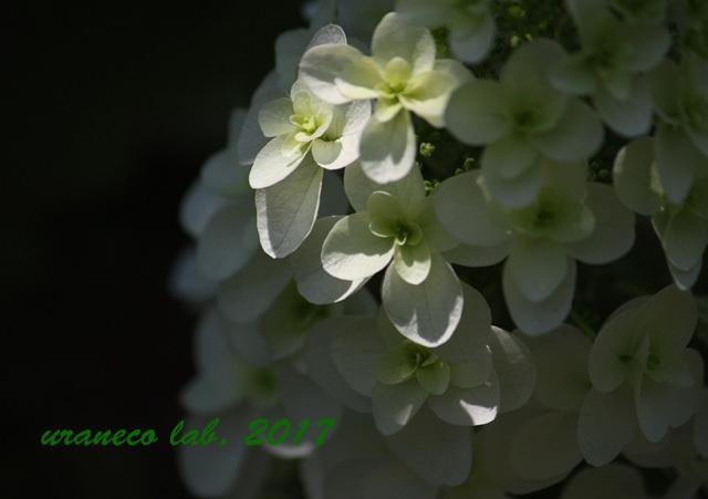 6月3日柏葉紫陽花3