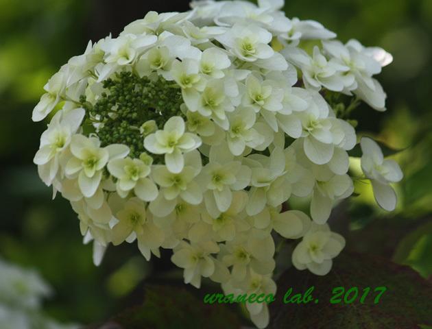 6月3日柏葉紫陽花