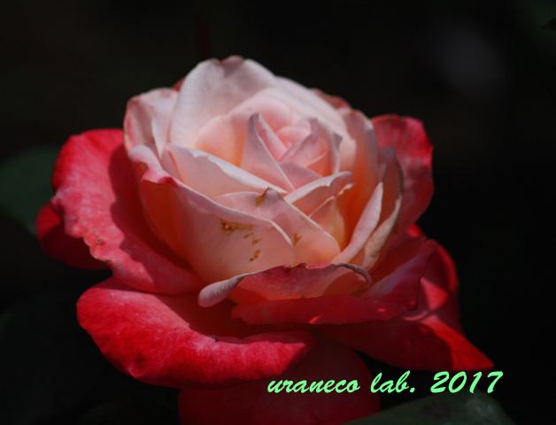 6月3日薔薇丹頂
