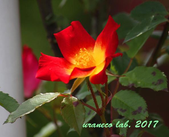 5月31日薔薇5
