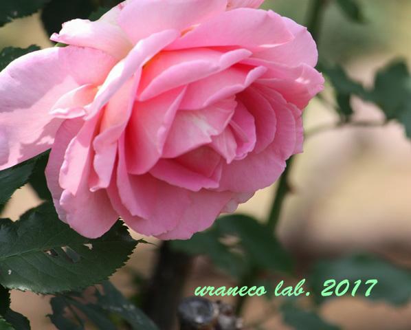 5月31日薔薇4