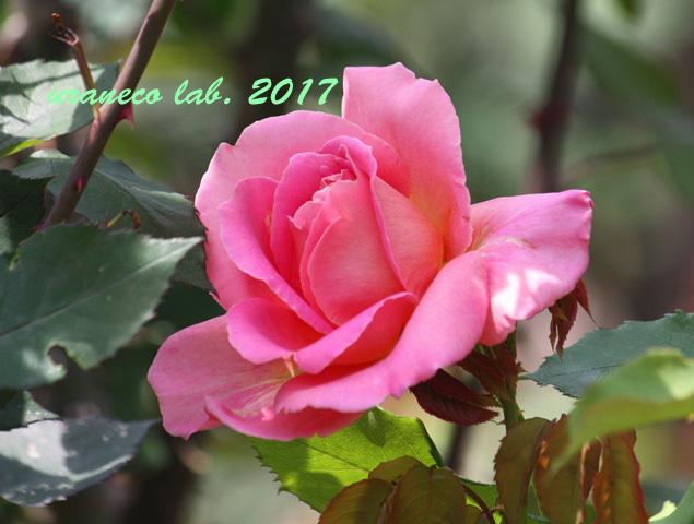 5月31日薔薇3