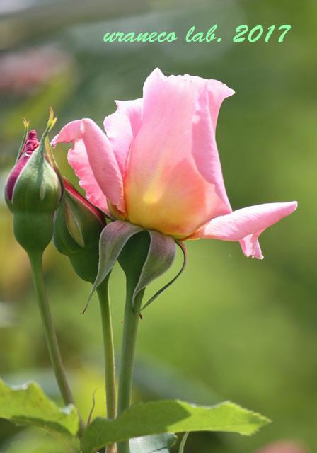 5月31日薔薇2