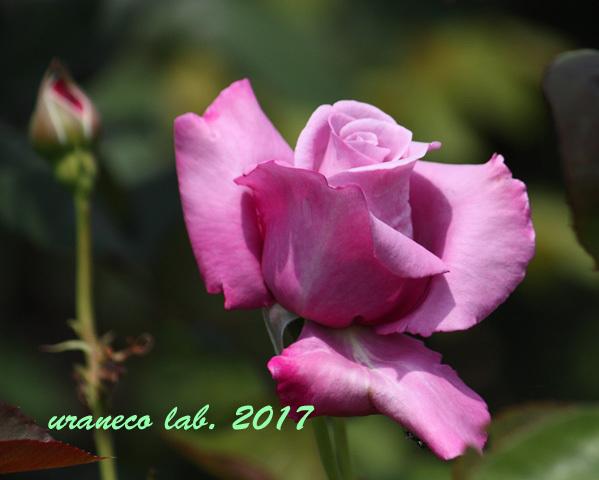 5月31日薔薇