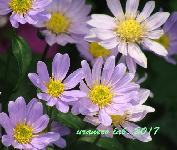 6月8日紫色の小菊