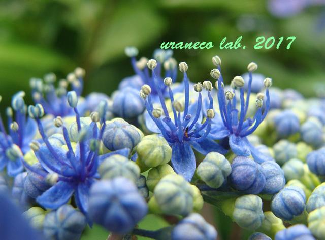 6月8日紫陽花6
