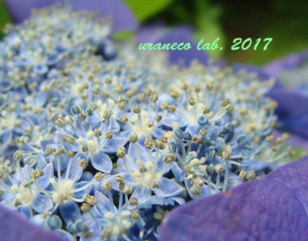 6月8日紫陽花5