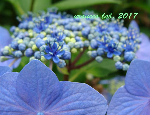 6月8日紫陽花4