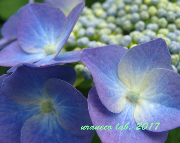 6月8日紫陽花3