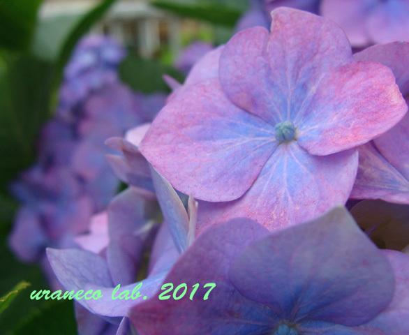 6月8日紫陽花2