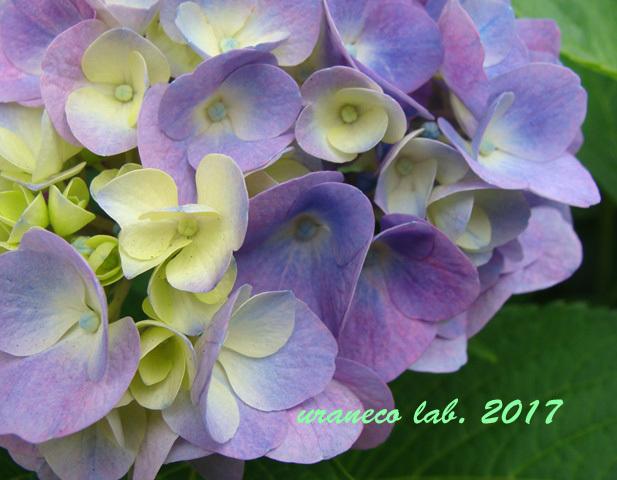 6月8日紫陽花