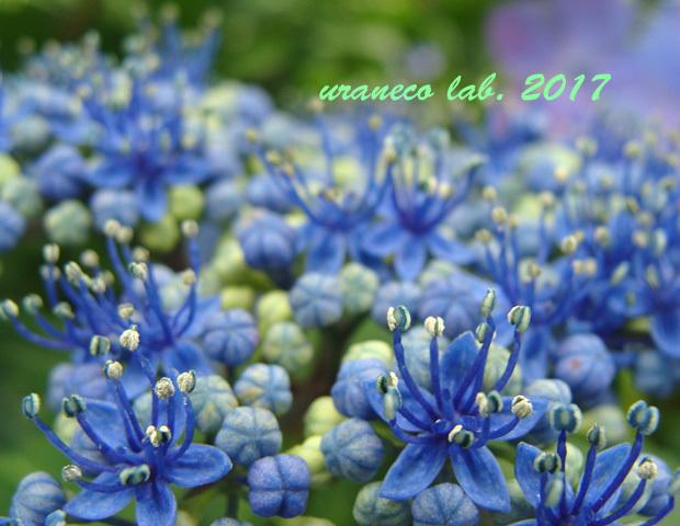 6月8日紫陽花8
