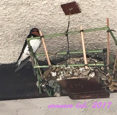 6月9日ツバメの巣