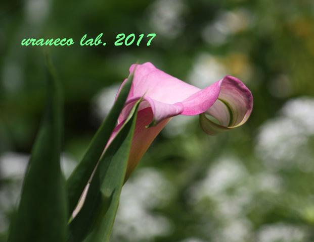 6月3日桃色カラ―3