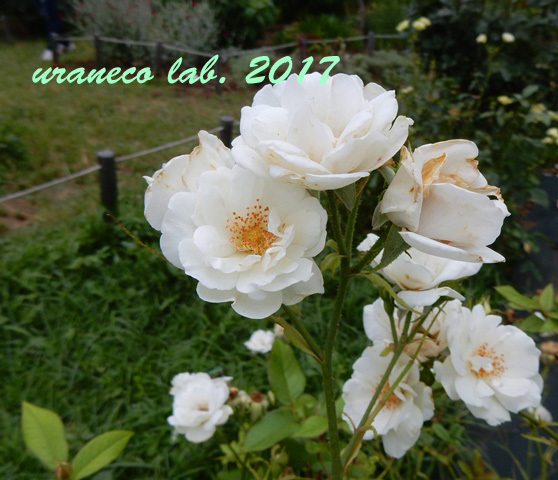 6月12日薔薇2