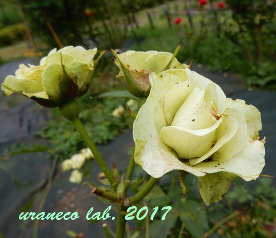 6月12日薔薇3
