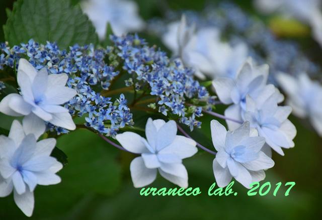 6月21日紫陽花2