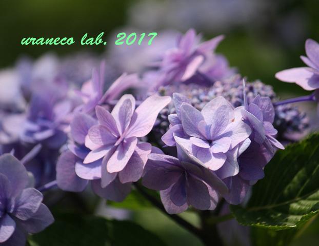 6月21日紫陽花